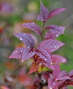 red spirea leaf