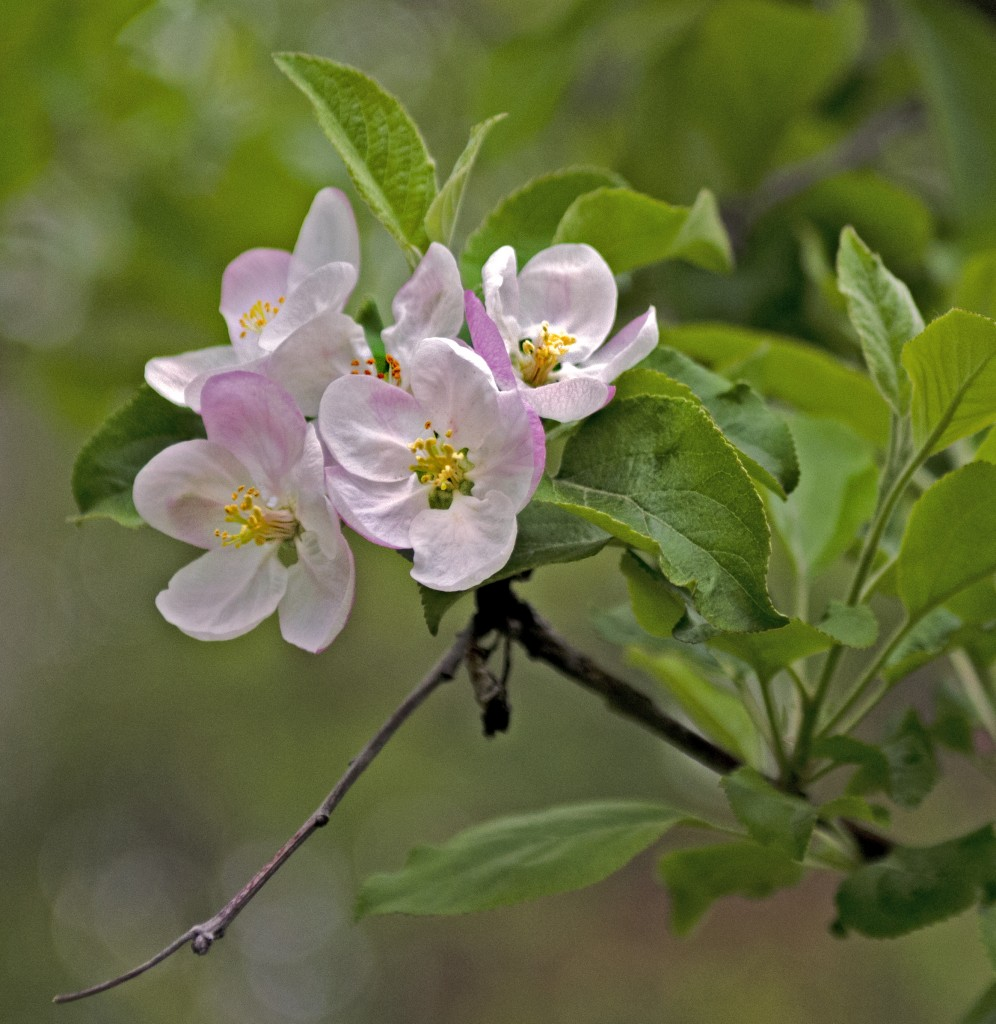 The orchard has few apple blossoms this year. Late frost has done its damage.