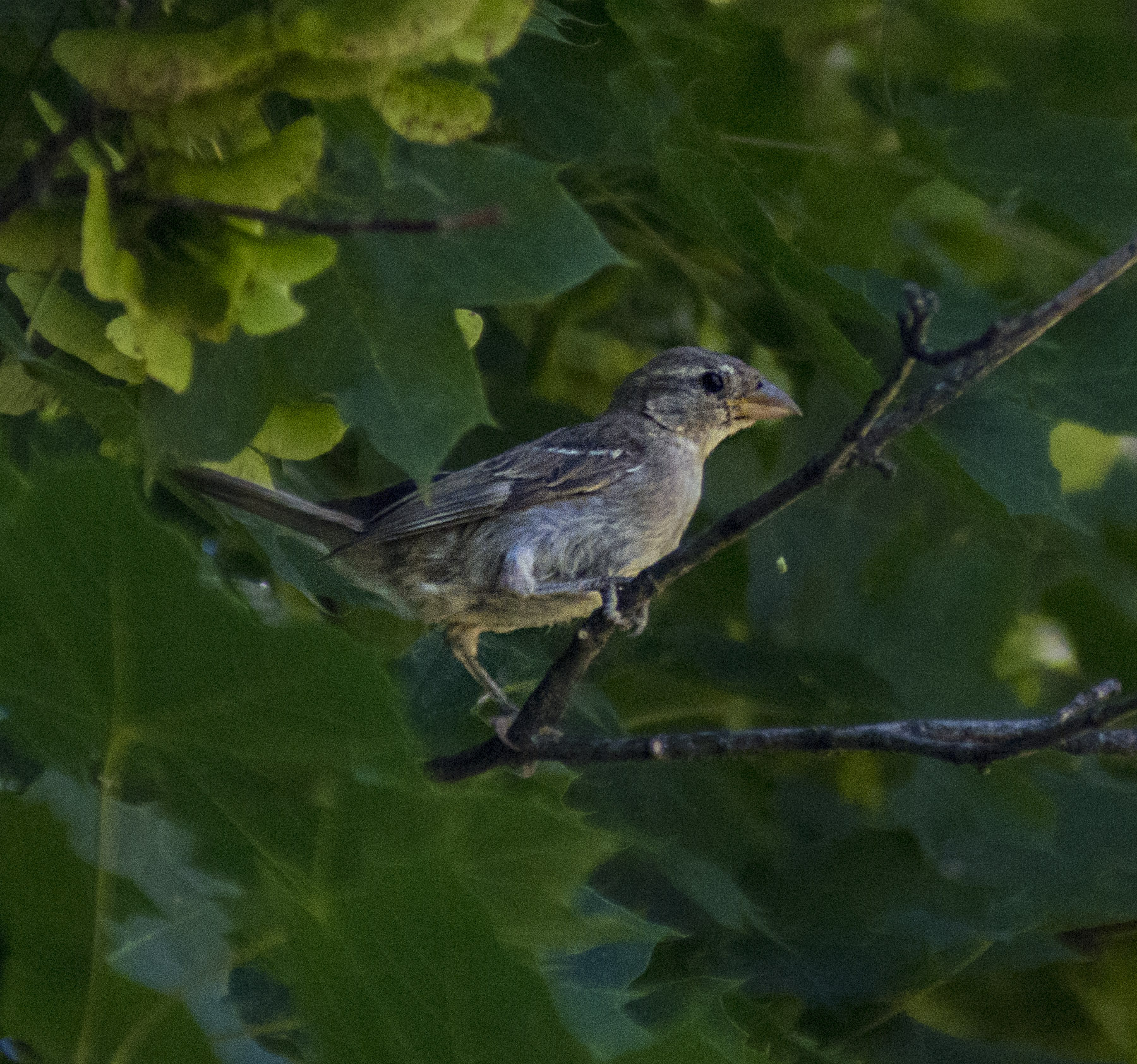 Female Black-headed Grosbeak was staying deep in the foliage of a maple tree, watching but calling no attention to herself.