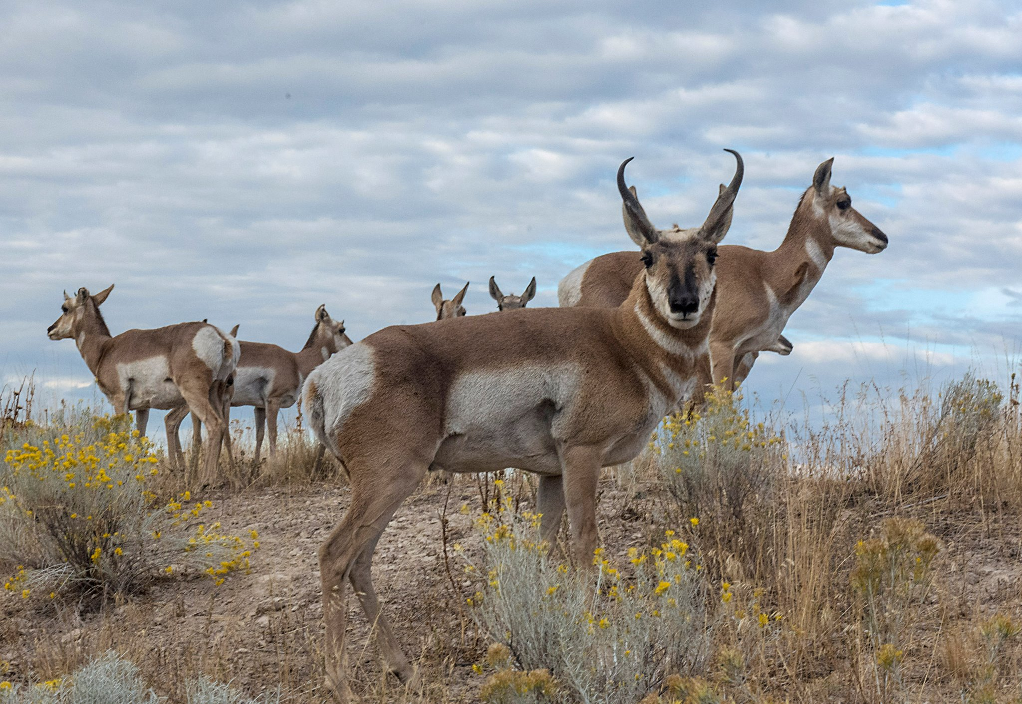 Pronghorns: survivors