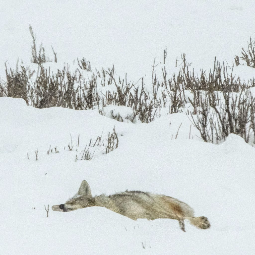 Wolf napping in snow