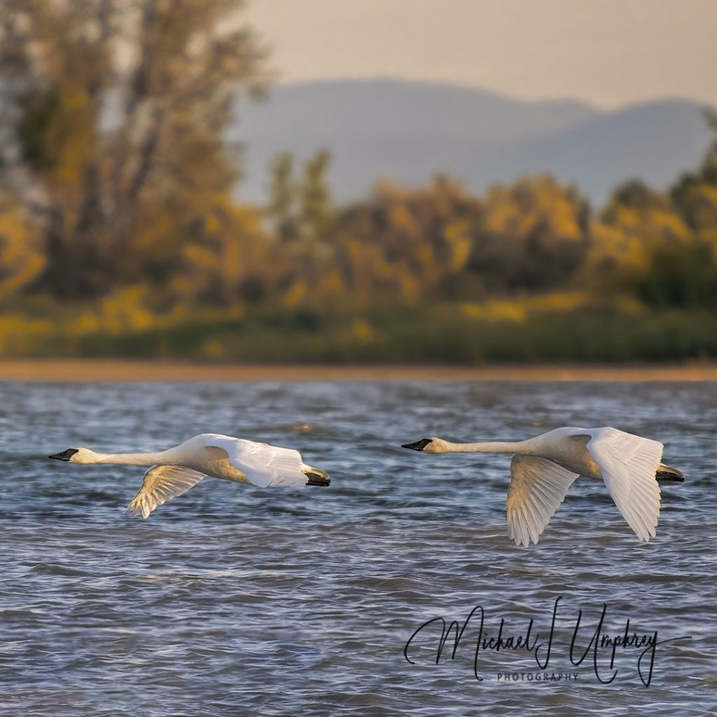A pair of swans flying low over Pablo Reservoir testify to the success of the Swan Restoration on the Flathead Reservation.