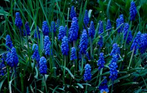 2012Apr24_garden_6693-grape-hyacinths.jpg