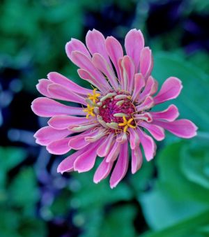 2012Aug13_garden_7505-zinnia.jpg