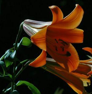 2012Jul30_Garden_7330-trumpet-lily.jpg