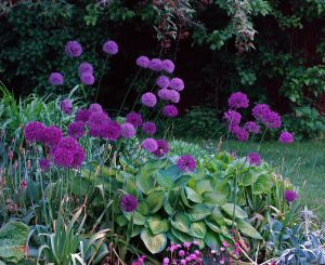2012Jun01_June Gardens_6947-allium.jpg