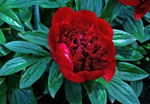 2012Jun12_peonies_7110ed.jpg