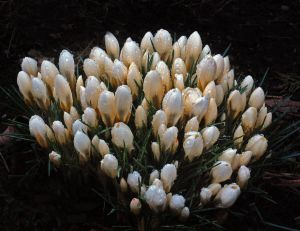 2012Mar23_Easter_6557-crocus.jpg