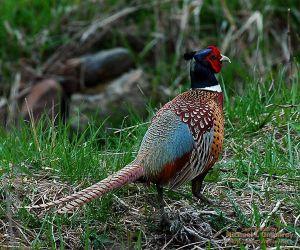 06-04-30__pheasant.jpg