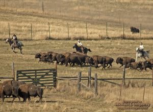 04Oct5_Bison_Range_Roundup057.jpg