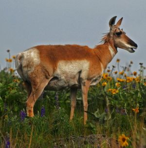 2011May29_Bison_Range_2371-pronghorn-800.jpg