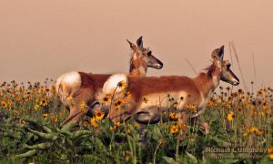 2011May29_Bison_Range_2385-pronghorn.jpg